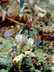 Mantis shrimp. Canon G10. internal strobe only by Andrew Macleod