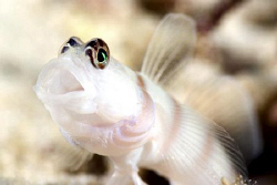 Jawning Goby by Erika Antoniazzo
