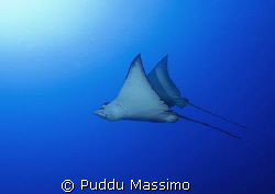 eagle ray nikon d2x 12-24mm by Puddu Massimo