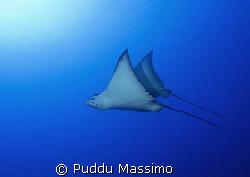 eagle ray nikon d2x 12-24mm by Puddu Massimo