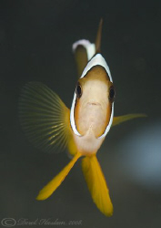 Damselfish. Lembeh. D200, 60mm. by Derek Haslam