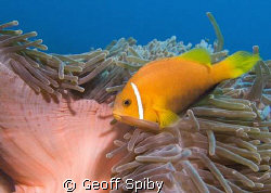 a clownfish hanging on in the current by Geoff Spiby
