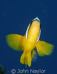 red sea anemone fish. by John Naylor