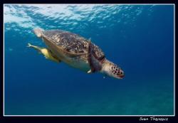 A big boy! green turtle (Chelonia mydas) by Sven Tramaux