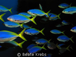 Blue and yellow fuselier, taken at Wakatobi with Canon S70 by Beate Krebs