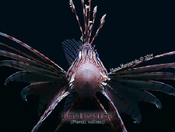Red Lionfish (Pterois volitans) - Secret Bay, Bali (Canon... by Marco Waagmeester