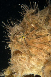 Hairy Frogfish found in a community of 7! Yes 7 other fro... by Debi Henshaw