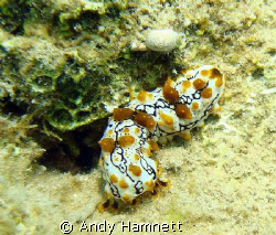 Juvenile Sea Cucumber in the Red Sea.  Thanks for cleari... by Andy Hamnett