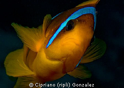 a brave anemonefish. Trying to get a diferent composition... by Cipriano (ripli) Gonzalez