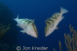 Two Nassau Groupers getting to know each other. My favori... by Jon Kreider