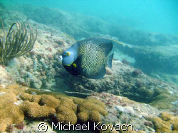 French Angelfish on the Inside Reef at Lauderdale by the Sea by Michael Kovach