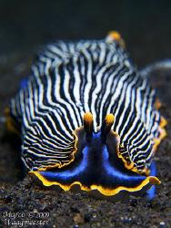 Arminidae Nudibranch (Armina semperi) - Puri Jati, Bali (... by Marco Waagmeester