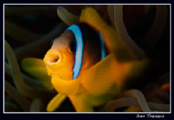 Hooo....Two-banded anemonefish by Sven Tramaux
