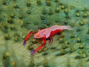 Periclimines shrimp .F100 &105mm . Indonesia by Gregory Grant