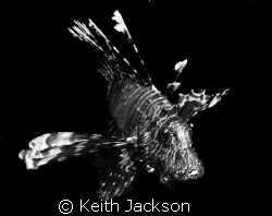 Lion Fish by Keith Jackson