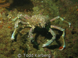 Sheep crab taken at La Jolla kelp beds by Todd Karberg