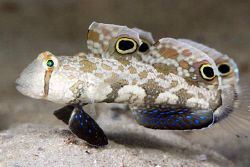Signal Gobies. There are 2 of them, one behind the other.... by Erika Antoniazzo