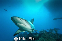 """maverick""  A lone Caribbean reef shark on patrol. Littl... by Mike Ellis"