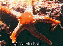 Striking red and white star fish, Atlantis Resort. Nikon... by Marylin Batt