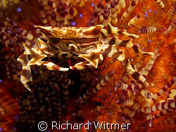 Zebra Crab on a Fire Urchin.  G9/Ikelite DS160/UCL 165. N... by Richard Witmer