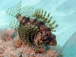 Green Hawaiian Lionfish. by Stuart Ganz