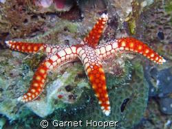 Starfish taking it easy... Fuji e900 on macro setting in ... by Garnet Hooper