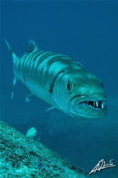 to get so close to this Giant Barracuda, I had to swim sl... by Adriano Trapani