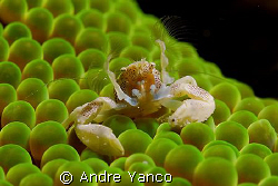 Who said that porcelain crabs are shy ? I was so surprise... by Andre Yanco