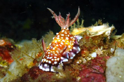 Chromodoris Roboi by Eric Fly