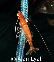This exhausted shrimp was trying to climb up one of the m... by Alan Lyall