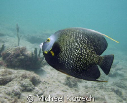 French Angelfish on the Inside Reef at Lauderdale by the ... by Michael Kovach