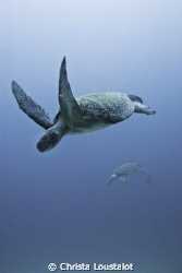 Sea Turtles dancing at Cocos by Christa Loustalot