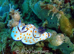 Nudi on coral by Andy Hamnett