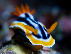 Chromodoris Maganifica, shallow depth-of-field - Nusa Pen... by Marco Waagmeester