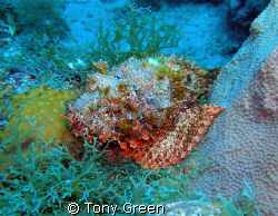 Scorpion fish on a nite dive. by Tony Green