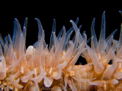 Whip coral close up. Canon G10, Inon S200, twin stack mac... by Andrew Macleod
