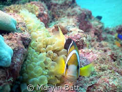 Close up Clown Fish.  Sony PC350. by Marylin Batt