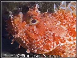 Scorpena scrofa. Taken with Nikon D60 in Easydive housing... by Francesco Pacienza