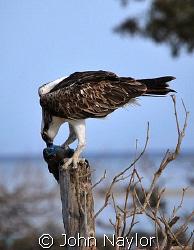 osprey eating parrot fish by John Naylor