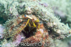 Despite its well camouflaged shell, the eyes of this herm... by Robert Christie