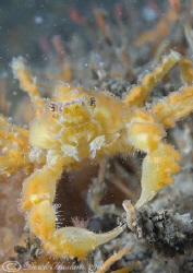 Leachs spider crab. North Wales. D200, 60mm. by Derek Haslam