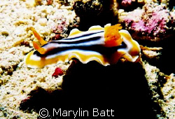 Chromodoris magnifica I think.  Atlantis Resort Nikonos ... by Marylin Batt