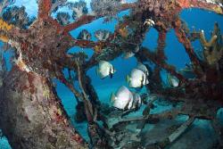 Batfish hiding inside a fallen lighthouse by Erika Antoniazzo