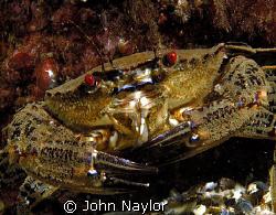velvet swimming crab.St.Abbs marine reserve.Scotland. by John Naylor
