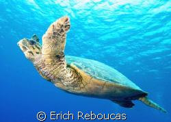 Hawksbil turtle cruising in the blue. Jackfish Alley, Ra... by Erich Reboucas