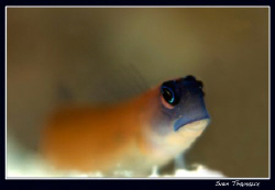 Aron's blenny... by Sven Tramaux