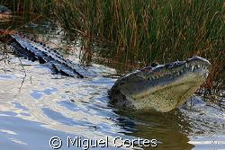 Crocodrile of the Coba Lagoon (Mexico). by Miguel Cortes