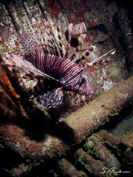 Yes, another Lionfish. This pirate seems to be all over t... by Steven Anderson
