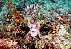 Lion fish with a suprised look.  Nikonos v 28mm by Marylin Batt