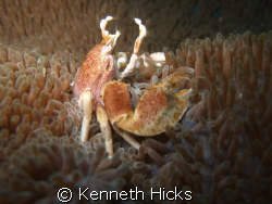 Porcelin Crab, Taken On The Weekend Of The 25 April 2009 ... by Kenneth Hicks